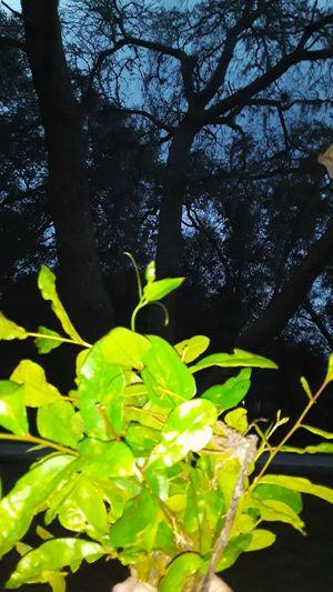 Living oak seedlings 2 dollars for Sale in Eustis, FL
