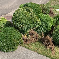 Shrubs for Sale in Vancouver,  WA