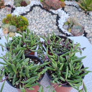 Succulent Plant 'String Of Ruby's' for Sale in Hacienda Heights, CA