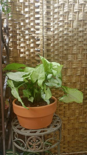 """Syngonium """"White Butterfly"""" Plant for Sale in Westminster, CA"""