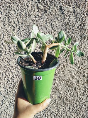 Variegated (green and white) Jade Succulent for Sale in Inglewood, CA