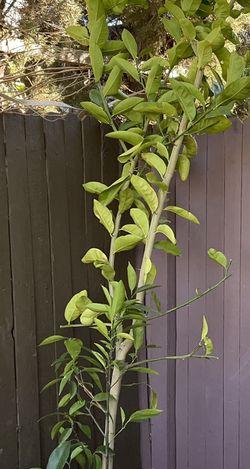 Lemon Tree for Sale in Roseville,  CA
