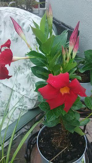 Mandeville Mound Flower Plant for Sale in Kissimmee, FL