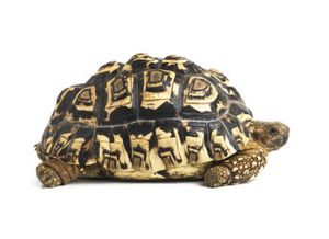 Leopard Tortoise 6 inches. for Sale in Westminster, CA