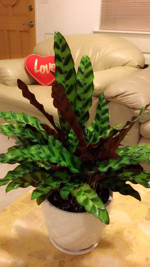 Calathea - Indoor Plant - So Healthy and Beautiful for Sale in Garden Grove, CA