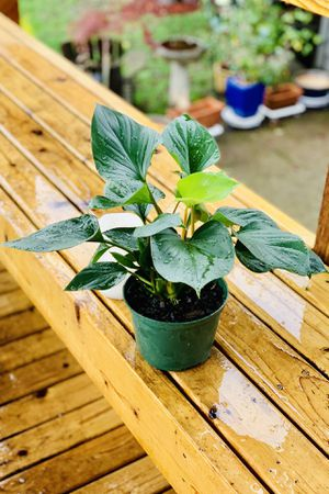 Live indoor Homalomena Emerald Gem house plant in a temporary planter flower pot—firm price for Sale in Seattle, WA