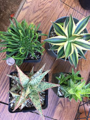 Assorted succulent plants for Sale in Chula Vista, CA