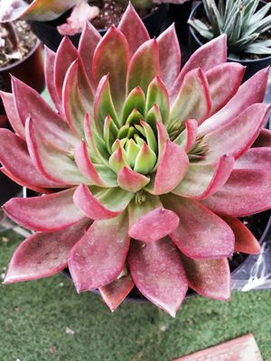 Hybrid rare echeveria lovefire for Sale in Chula Vista, CA