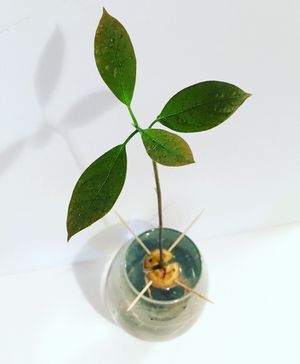 Avocado plants for Sale in Westerville, OH