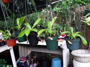 Pitcher Plant in Hanging Pot - I EAT BUGS! for Sale in Apopka, FL