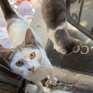 2 Sweet Young Cats for Sale in Los Angeles, CA