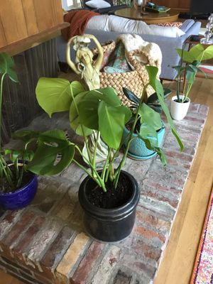 Large Monstera with pot for Sale in Kirkland, WA