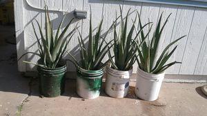 Aloe Vera sabilas plantas son grandes 20 cada una for Sale in Phoenix, AZ