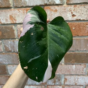 Philodendron Pink Princess - Cutting for Sale in Sugar Land, TX