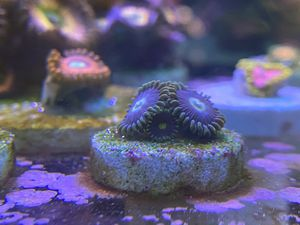 Evil Mel's, Green Skirts, zoa, zoanthid, coral, aquarium for Sale in Hawthorne, CA