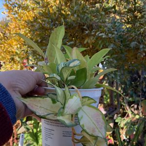Hoya publicalix And Princes for Sale in Hanford, CA