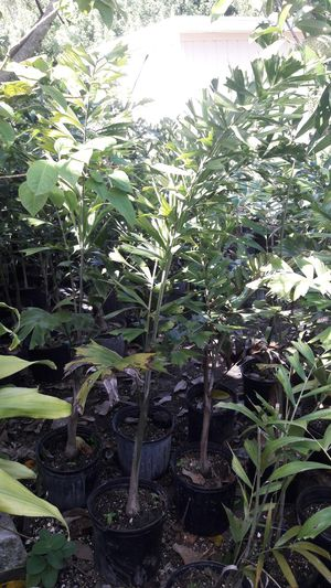 Foxtail palms for Sale in West Palm Beach, FL