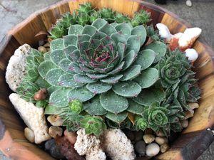 Succulent - sempervivum Blooming! for Sale in Battle Ground, WA