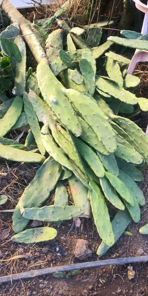 Nopal cactus plant for Sale in San Marcos, CA