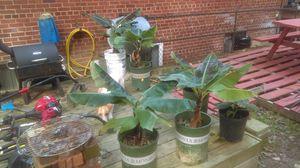 Dwarf banana trees for Sale in Arlington, VA