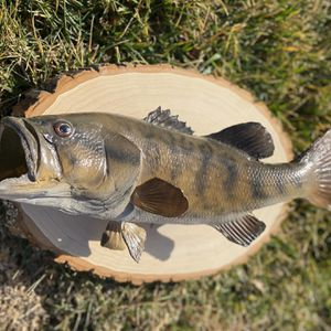 Small Mouth Bass Replica Fish Mount for Sale in Henderson, NV