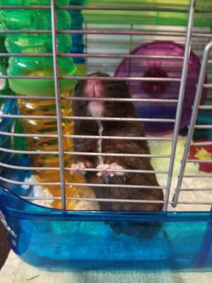 Syrian hamster needs loving home for Sale in American Canyon, CA