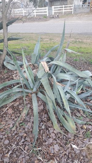 Agave plants you dig for Sale in Clovis, CA