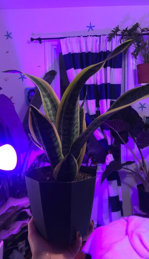 Snake plant for Sale in PA, US