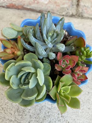 Succulents for Sale in Hayward, CA