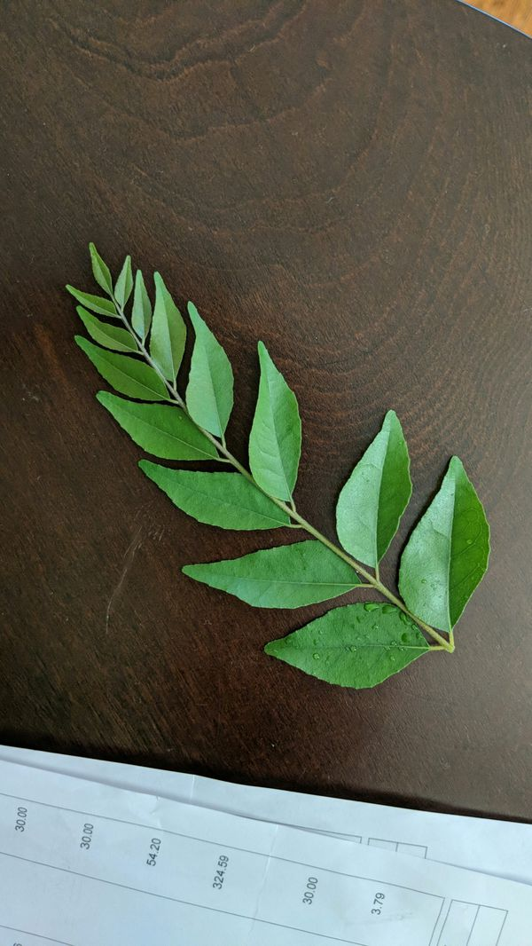 Freshly plucked curry plant leaves کڑھی پتا