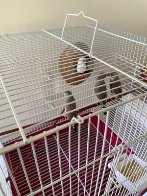 Birds finches with cage for Sale in Sterling Heights, MI