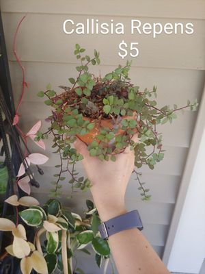Callisia repens Wandering Dude Bolivian Dude House Plant for Sale in Cleveland, OH