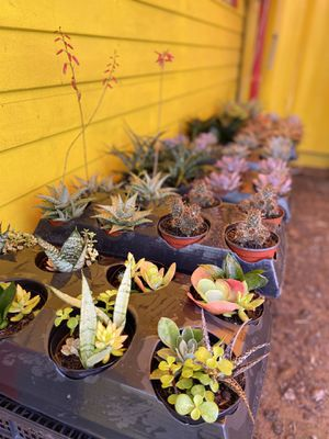 Assorted Succulent 2x $10 or $4 ea for Sale in Homestead, FL