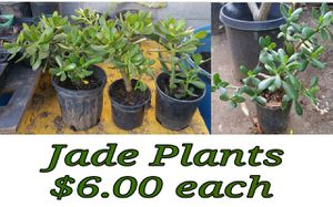 Jade plants for Sale in Hacienda Heights, CA