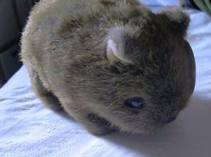 Collectible Aussie Uni-Toys Wombat Plush Toy for Sale in Sacramento, CA