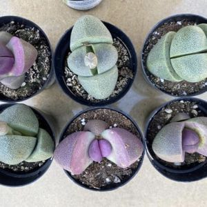 Lithops/split Rocks And More for Sale in Bloomington, CA