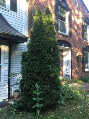 9 -10 ft pine tree FREE, just dig them up and take for Sale in Sharon, MA