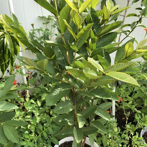 Guava plant for Sale in Kissimmee, FL