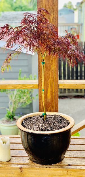 Live outdoor Japanese Maple Crimson Queen Laceleaf tree plant in a black ceramic planter flower pot—firm price for Sale in Seattle, WA