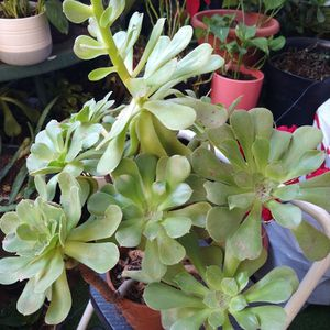 Beautiful Succulent Plant In Pot for Sale in Fontana, CA