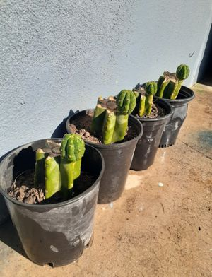 San Pedro Cactus Pachanoi for Sale in City of Industry, CA