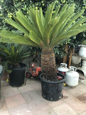 Sago Palm for Sale in Pico Rivera, CA