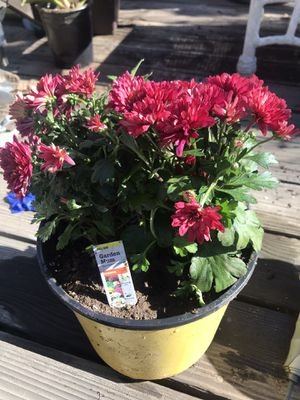 Potted flowers garden mum for Sale in Monrovia, CA