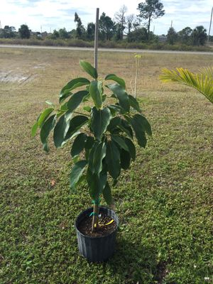 Grafted avocado / aguacate injertado for Sale in Lehigh Acres, FL