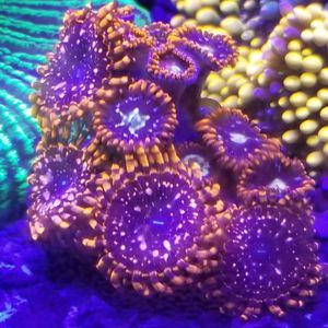 Saltwater Frags And Colonies for Sale in York, PA