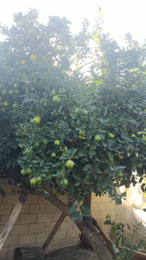 Limes/ limones for Sale in Santa Ana, CA