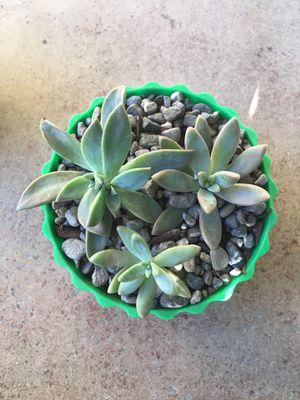 Echeveria succulent for Sale in Orange Cove, CA