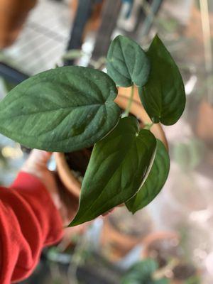 Syngonium Chiapense for Sale in Riverside, CA