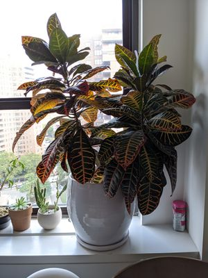 Huge croton house plant and crate&barrel pot for Sale in New York, NY