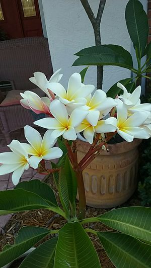 New plumeria branch ready to grow up and flower for Sale in Deltona, FL